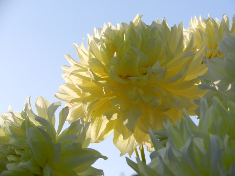 Dahlias the size of dinner plates.