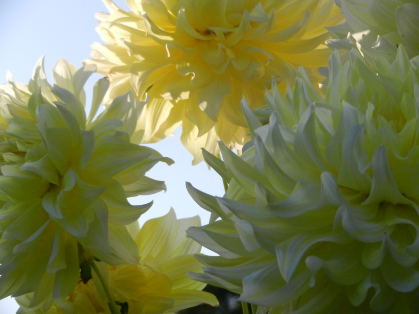 Did you know dahlias can be used for dye?