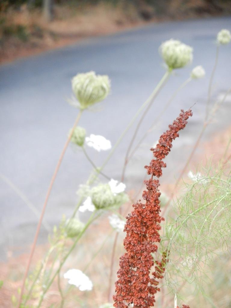 Yellow dock, Queen Anne's Lace, fennel: dye plants all.