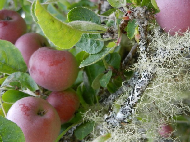 Closeup of several red apples on moss or lichen covered bough.