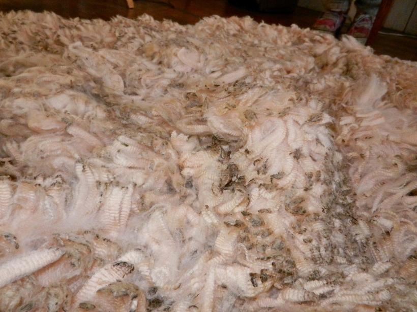 A sea of fleece: a seven pound Merino fleece I won at Lambtown, 2014.