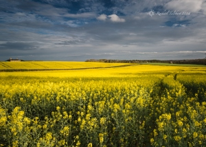 Glorious field of yellow rapeseed blooms under dramatic dark sky.