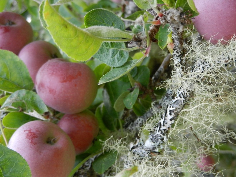 Red apples on the tree, dark green leaves, darker, scary lichen, and a light green fluffly lichen/moss.