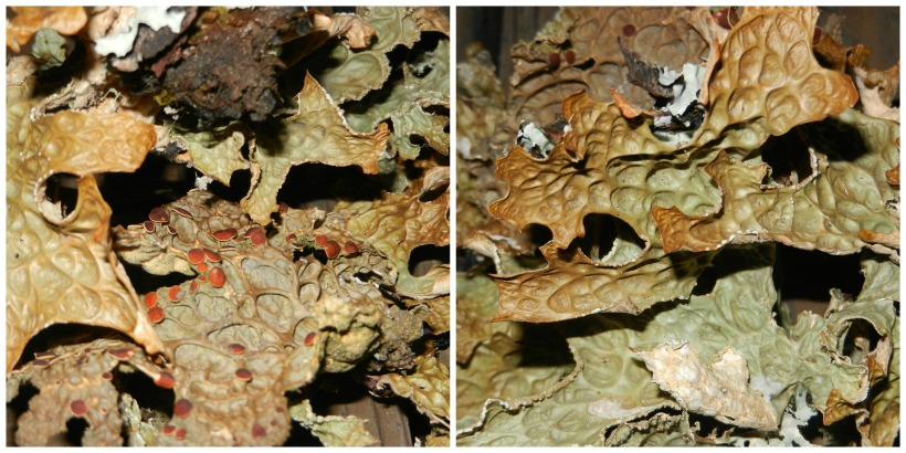 closeups on olive and brown lungwort lichens