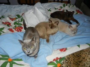 Four cats: grey, platinums, and sable