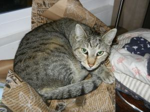 Grey tabby cat, great stripes