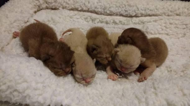 Three-day-old Burmese kittens.