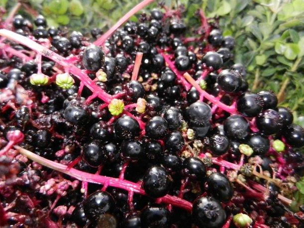 Deep purple round berries on vibrant fuschia stems.