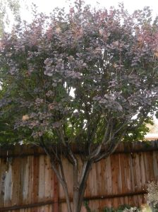 large yard tree with purplish leaves