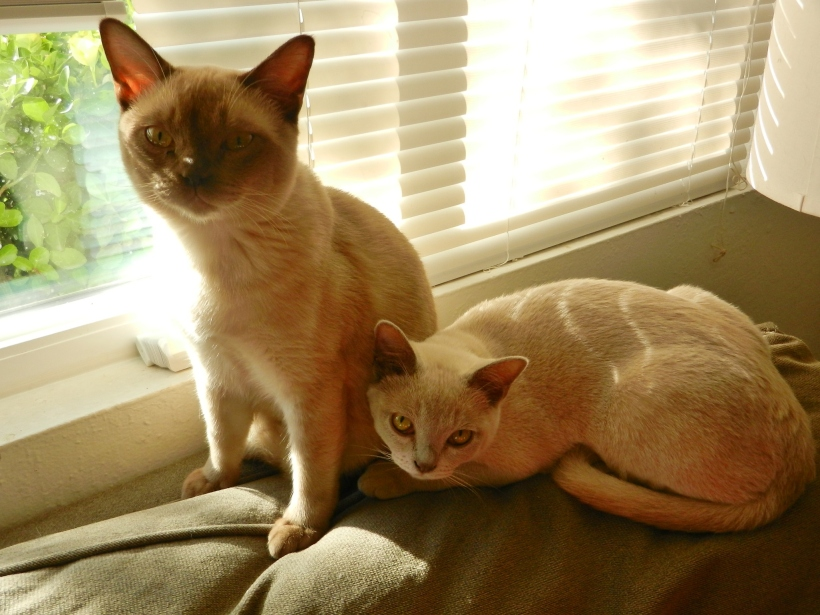 One champaine and one platinum Burmese