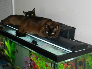 Two sable Burmese, warming up on the fish tank heater