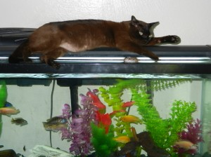 Sable Burmese Burley, and his belly, on top of the fish tank